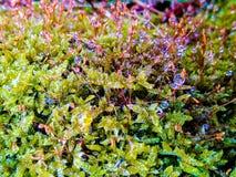 descensos del rocío en el musgo verde Imagen de archivo