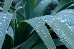 Descensos del rocío en las hojas del iris Fotografía de archivo libre de regalías