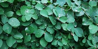 descensos del rocío en las hojas mojadas después de la lluvia fotos de archivo