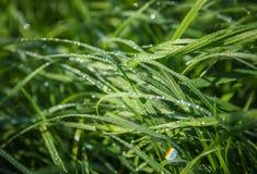 Descensos en la hierba verde Fotos de archivo libres de regalías
