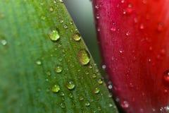Descensos en la hoja de un tulipán Fotografía de archivo libre de regalías