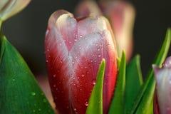 Descensos en la hoja de un tulipán Imagen de archivo libre de regalías