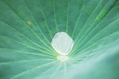 Descensos en las hojas del loto del fondo Fotos de archivo libres de regalías