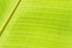 Descensos en las hojas del plátano Imagenes de archivo