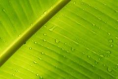 Descensos en las hojas del plátano Imagen de archivo libre de regalías