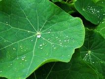 Descensos en las hojas después de la lluvia Foto de archivo libre de regalías