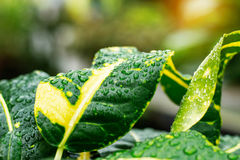 Descensos en las hojas después de la lluvia Imagen de archivo