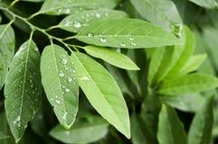 Descensos en las hojas verdes del squamosa del Annona Imagenes de archivo