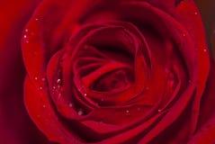 Descensos en los pétalos, visión macra de la flor y del agua de Rose Fotografía de archivo