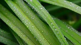 Descensos grandes del agua en las hojas verdes del daylily metrajes