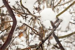 Descensos mojados de fusión de la nieve y del agua en ramas de árbol en el bosque en la primavera temprana, cierre para arriba, f fotografía de archivo libre de regalías