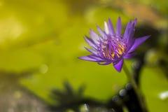 Descensos púrpuras del loto y del agua con la macro de la abeja (tono del vintage) Imagen de archivo libre de regalías