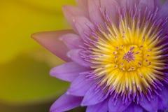Descensos púrpuras del loto y del agua con la macro de la abeja (tono del vintage) Fotos de archivo libres de regalías