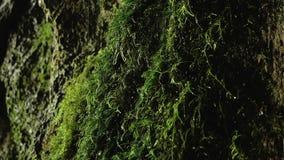 Descensos que gotean en musgo en una cueva metrajes