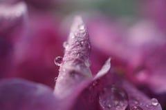 Descensos rosados de la flor foto de archivo