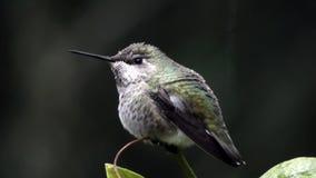 Descensos y agua de rocío que se sientan en colibrí en invierno almacen de metraje de vídeo