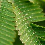 Descensos y mimosa Fotos de archivo libres de regalías