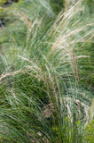 Deschampsia cespitosa Stock Photos