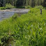 Deschutes River near its headwaters. The lush green banks of the beautiful Deschutes River near its headwaters on a sunny summer day stock photography