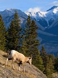Descida de Bighorn imagem de stock royalty free