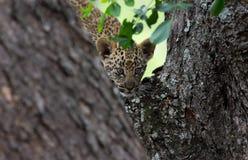 Descida do bebê do leopardo Imagens de Stock