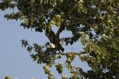 Descolagem da águia calva Fotos de Stock Royalty Free