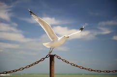Descolagem da gaivota Imagens de Stock Royalty Free