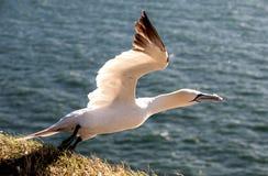 Descolagem do albatroz Foto de Stock