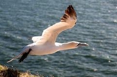 Descolagem do albatroz Foto de Stock Royalty Free