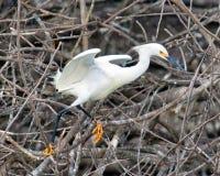 Descolagem do Egret nevado Fotos de Stock