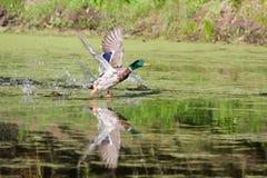 Descolagem do pato selvagem fotografia de stock royalty free