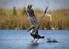 Descolagem do pelicano Imagens de Stock