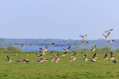 Descolagem dos gansos de pato bravo europeu Imagens de Stock