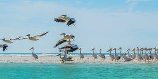 Descolagem dos pelicanos brancos da praia de Florida Imagens de Stock
