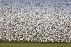 Descolagem migratório dos gansos foto de stock royalty free