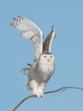 Descolando a coruja nevado Imagem de Stock