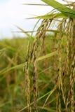 Descoloración del grano del arroz imagen de archivo