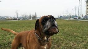 Descortezamiento del perro del boxeador almacen de video