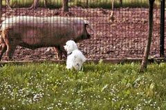 Descortezamiento en el cerdo Fotografía de archivo