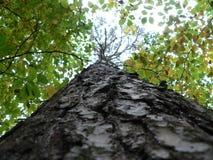 Descortezamiento encima del árbol incorrecto Foto de archivo libre de regalías