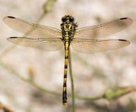 Descripción de la libélula Foto de archivo