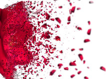 Descripción de la rosa del rojo en el fondo blanco Fotografía de archivo libre de regalías