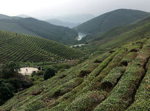 Descripción en los campos del árbol del té Imagenes de archivo