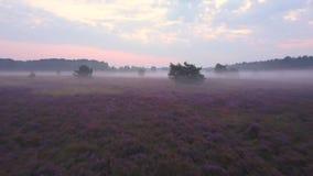 Descripción púrpura del brezo metrajes