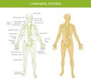 Descripción médica del sistema linfático Imagen de archivo