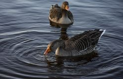 Taiga Bean Geese Eating Stock Images