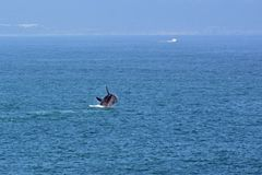 Male Southern Right Whale, Hermanus, South Africa. Description: Male Southern Right Whale off Hermanus, South Africa. The southern right whale is a baleen whale royalty free stock photos