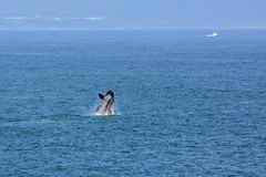 Male Southern Right Whale, Hermanus, South Africa. Description: Male Southern Right Whale off Hermanus, South Africa. The southern right whale is a baleen whale stock photos