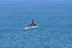 Male Southern Right Whale Jumping From Sea, South Africa. Description: Male Southern Right Whale off Hermanus, South Africa. The southern right whale is a baleen royalty free stock photo
