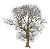 Descubierto del árbol aislado en blanco fotos de archivo libres de regalías